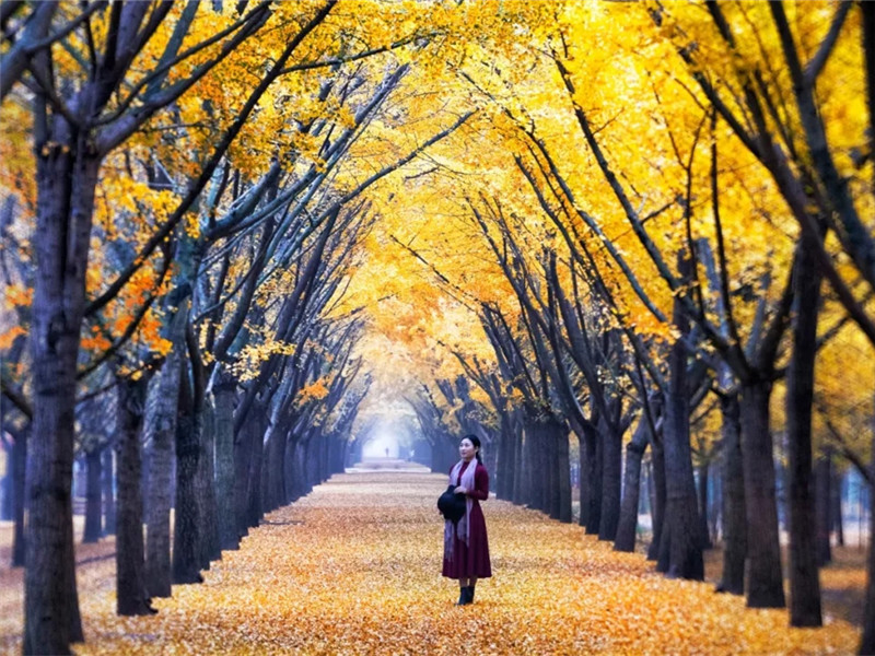 Xuzhou, home to stunning golden 'ginkgo tunnel' and more