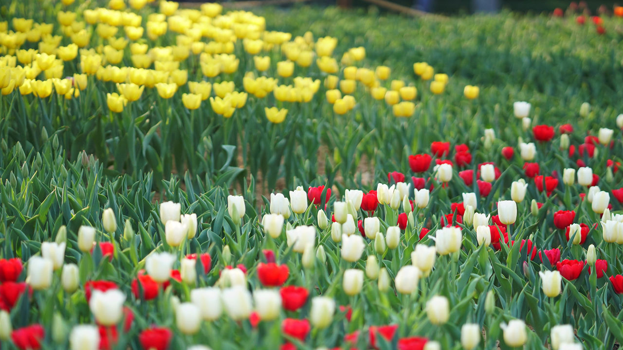 Park welcomes visitors with bulbous flowers